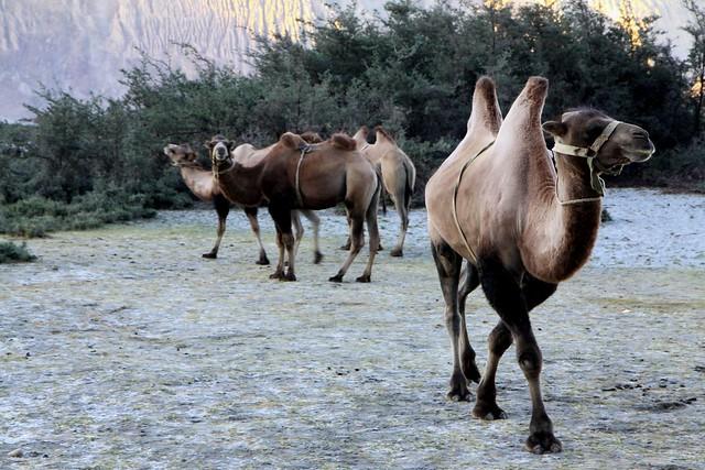 Bactrian Camels at Hunder