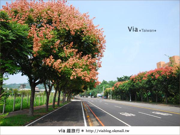 【台中】台灣秋天最美的街道!台中大坑發現美麗的台灣欒樹11