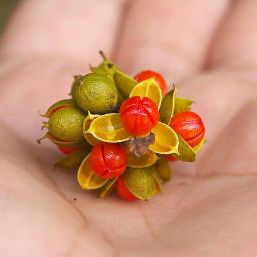 大葉南蛇藤的果實