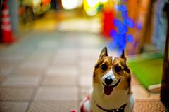 impulse (moaan) Tags: street leica light dog night digital 50mm corgi nightlights dof bokeh walk illuminations f10 utata noctilux welshcorgi stroll 2010 m9 pochiko leicanoctilux50mmf10 leicam9 gettyimagesjapanq1 gettyimagesjapanq2