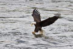 Conowingo-15Oct2010-IMG_3803 (Bob Gilley) Tags: bald eagles conowingo