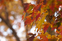 Fall leaves with out of focus elements (Carl's Photography) Tags: red orange blur tree fall minnesota yellow iso100 nikon focus dof bokeh outdoor outoffocus negativespace mn scenics f40 selectivefocus tranquilscene sigma1020mm beautyinnature sigma1020mmf456exdchsm d80 1100sec nikond80 1100secatf40 gettyartistpicks gettyimageswant gettywants