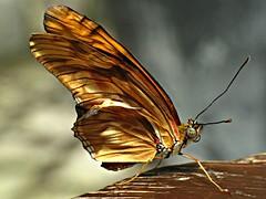 TatteredBoy (BphotoR) Tags: macro butterfly germany powershot explore tattered schmetterling potofgold macroextreme supershot g10 abigfave platinumphoto anawesomeshot theunforgettablepictures macrolife natureselegantshots bphotor