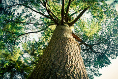 mighty (emraps) Tags: tree nature leaves forest branches trunk hugetree