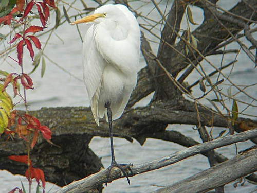 Great Egret - Grande Aigrette  Lasalle  17 Oct 2010  DSCN5921