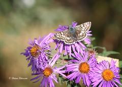 Common Checkered-Skipper (Gordilly) Tags: nature butterfly insect nebraska skipper lepidoptera omaha douglascounty hesperiidae pyrguscommunis commoncheckeredskipper pyrgus pyrginae canonef100mmf28macrousm heronhaven 3212145