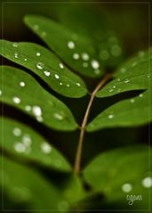 Acacia (~Cess~) Tags: vert acacia goutte feuille branche rose mothernaturesgreenearth