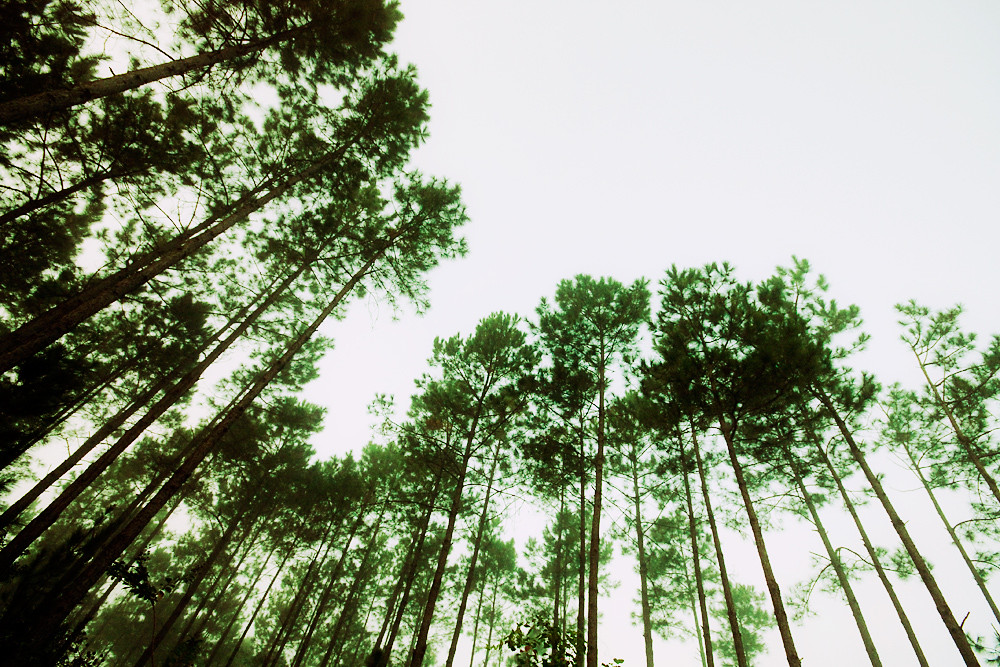 364/365 - Wide Angle Pines
