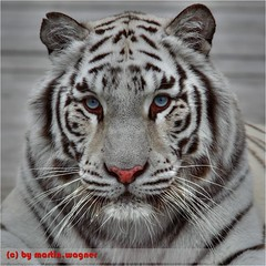 Bengaltiger (schickma) Tags: cat tiger tm katze enclosure bengaltiger liegen raubkatze gehege tonemapping areappropriate bengaltigertieger forrobberycat