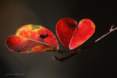 nature's love (J Jackson Foto) Tags: red nature leaf heart ant