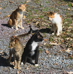 barn kitties in Central PA (Fran Sonne photos) Tags: cats sunshine cat canon feline pennsylvania kitty kitties felines sonne centrecounty barnkitties