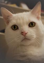 89/365 - October 20, 2010 (Keeperofthezoo) Tags: pet white canada calgary cat kyoto ab whiskers alberta whitecat petportrait cateye project365 kyotocat canonxsi