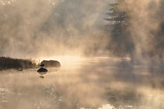 One Misty Morning in Meadow Lake (Seth Oliver Photographic Art) Tags: mist nature fog reflections landscapes geese illinois nikon midwest lakes mistymornings sunrises pinoy meadowlake lisle silhouttes naturescapes mortonarboretum manualmode d90 wetreflections autumnsunrise autumnmorning handheldshot sooc foggymornings perfectsunsetssunrisesandskys setholiver1 18105mmnikkorlens mistinthelake
