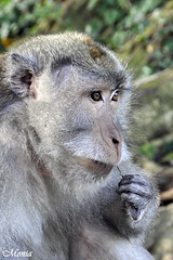 lo stuzzicadenti.../toothpick... (DrMonia) Tags: bali indonesia monkey toothpick sangeh scimmia nikon18200mm stuzzicadenti nikond90