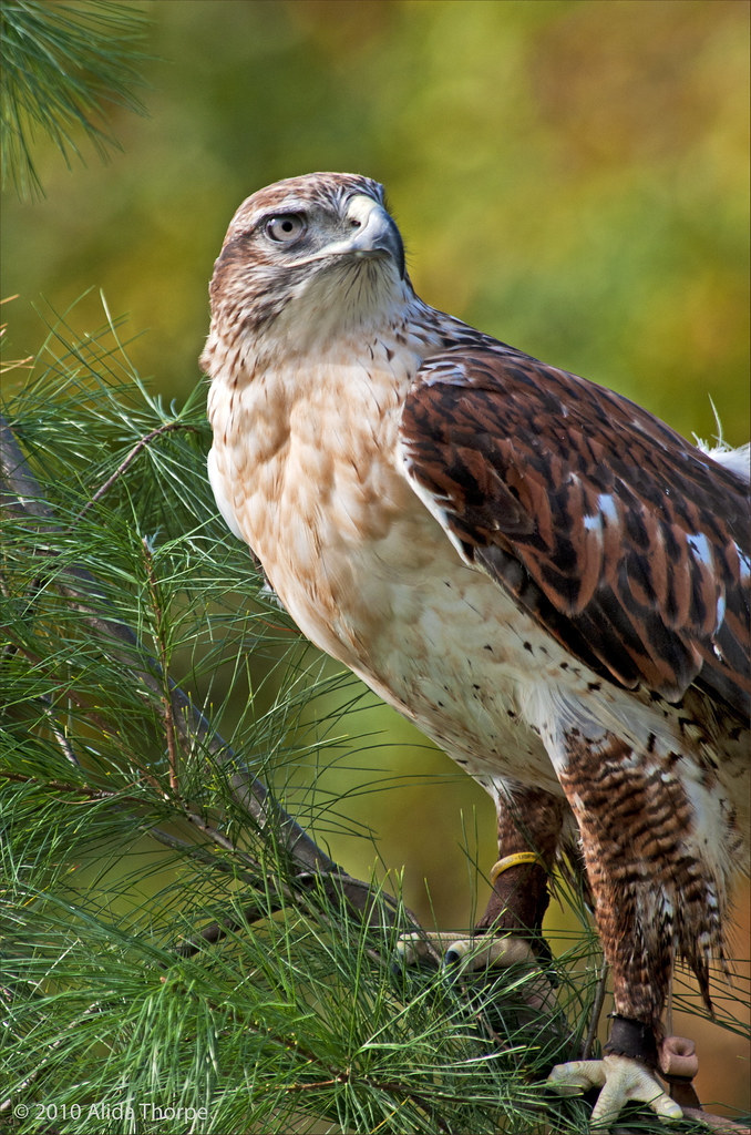 Ferruginous, Rough-leg Hawk, captured