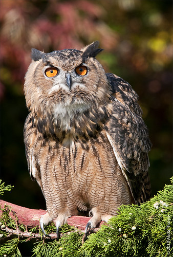 Eurasian Eagle-owl, captured by Alida's Photos