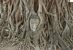 Buddha Head in Tree-Wat Phra Mahathat Ayutthaya Thailand (GlobeTrotter 2000) Tags: summer vacation tree thailand asia head buddha south east wat phra ayutthaya mahathat gettyvacation2010