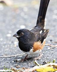 Eastern Towhee (Dah Professor) Tags: easterntowhee kh0831 town bird animalportrait nj