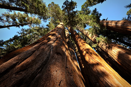 Giant Sequoias, along the Crescent Meado by bumeister1, on Flickr
