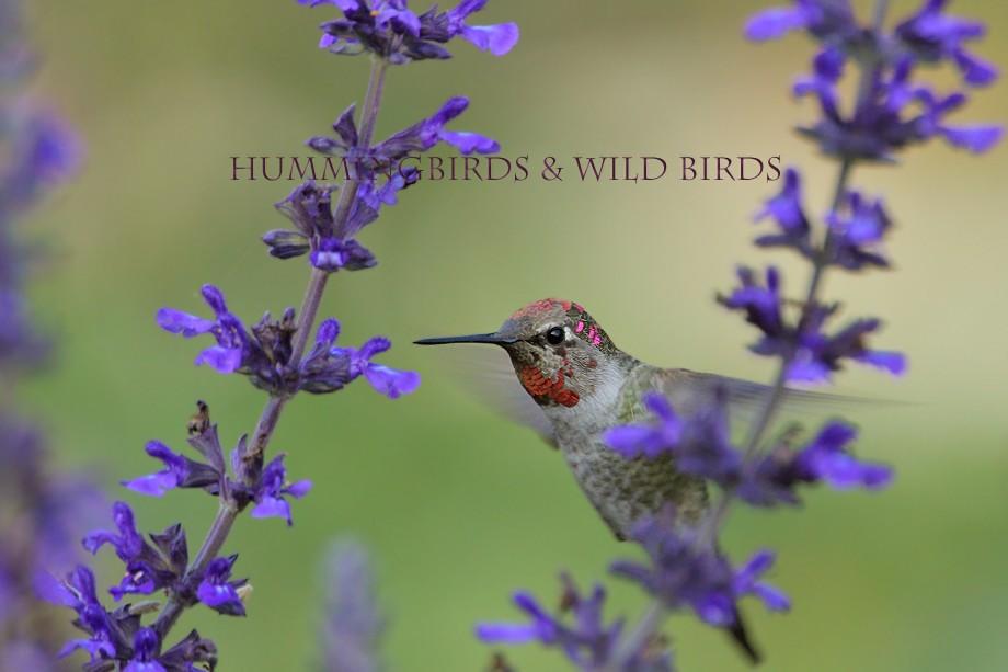 Anna's Hummingbird 110710