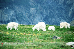 The Moutain Goats : Beartooth Highway (Thushan Sanjeewa) Tags: trip vacation animal goat herd ynp beartoothhighway motana oreamnosamericanus thushan moutaingoat thushansanjeewa