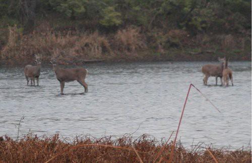 deer11-12-10rs