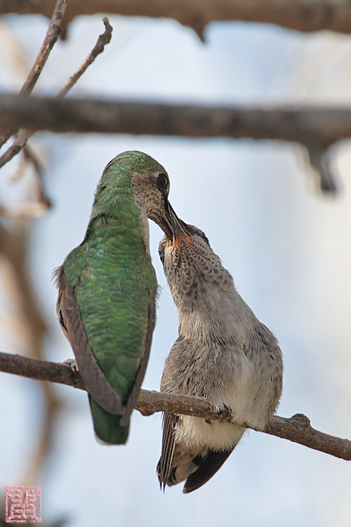 Anna's Hummingbird nest g 0322101