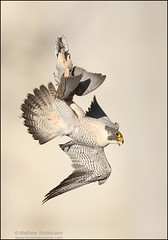 Peregrine Falcon inverted with dove (www.studebakerbirds.com) Tags: kill falcon soe peregrine peregrinefalcon specanimal