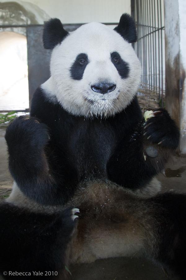 RYALE_Panda_Bears_26