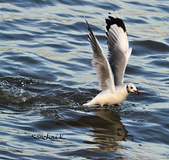 Brown-headed Gull (somchai@2008) Tags: mywinners brownheadedgull larusbrunnicephalus thewonderfulworldofbirds  qualitygold