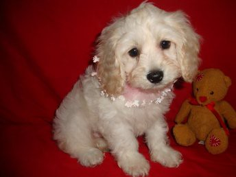 COCKAPOO PUPPIES FOR SALE - COCKAPOO PUPPIES » AKITA PUPPIES FOR SALE