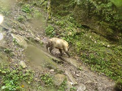 Takin (eMammal) Tags: takin wolong budorcastaxicolor geo:lon=30873 taxonomy:common=takin sequence:index=1 sequence:length=1 otherhoovedmammals taxonomy:group=otherhoovedmammals siwild:study=wolongcameratrapsurvey siwild:studyId=wolongbaitedsets geo:locality=china siwild:plot=wolong siwild:location=lwwl08811a siwild:camDeploy=chinadeploy194 geo:lat=103173 taxonomy:species=budorcastaxicolor siwild:date=200809271525000 siwild:trigger=wwl08811a01122 siwild:imageid=wwl08811a01122 sequence:id=wwl08811a01122 file:name=wwl08811a01122jpg sequence:key=1 file:path=dchinachinacameraimagedigitalafter2008wolongnaturereservewwl08811a01wwl08811a01122jpg siwild:region=china BR:batch=sla0620101119044543 siwild:species=12