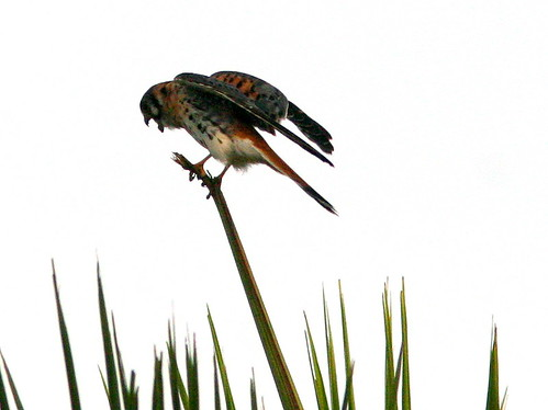 Kestrel retching 20101118