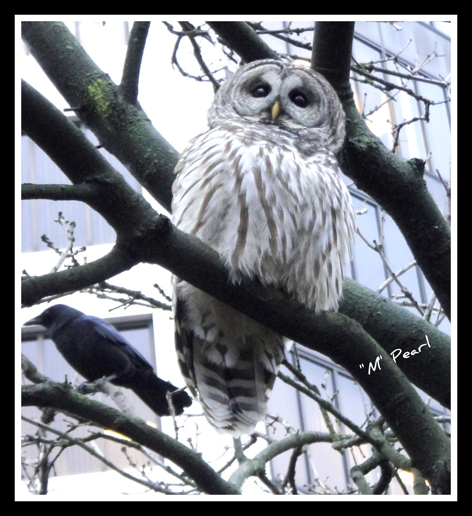 Barred Owl and the Crow