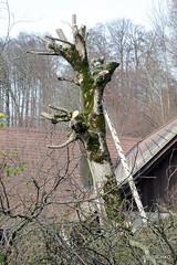 Der solze Nussbaum, seiner grossen Aeste beraubt. (HITSCHKO) Tags: baum einzelbaum laubbaum juglansregia solitrbaum echtewalnuss