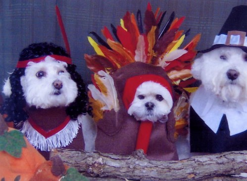 Thanksgiving Bichons
