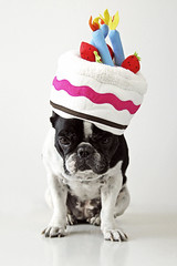 . (susilalala) Tags: birthday frenchbulldog cumpleaos nuka bulldogfrances