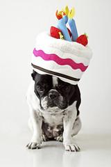 . (susilalala) Tags: birthday frenchbulldog cumpleaños nuka bulldogfrances