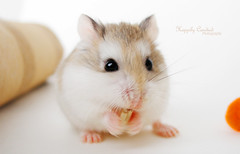 Introducing Jacques Toupee! (Happily Candied) Tags: pet cute love kawaii hammy robo robohamster jacquestoupee