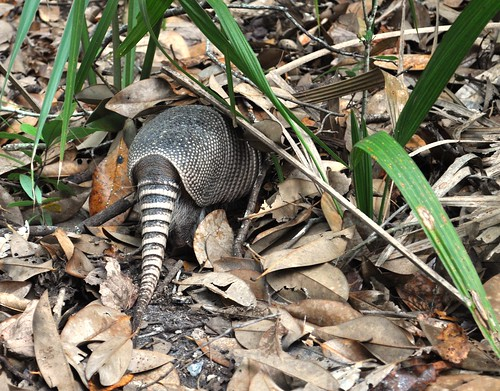 Armadillo, Cumberland Island National Seashore