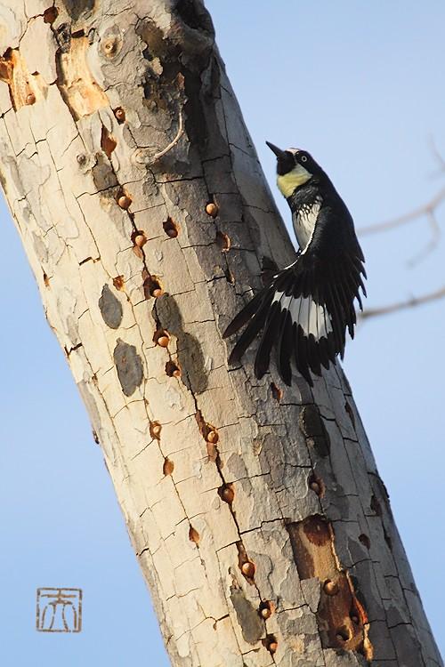Acorn Woodpecker112810-2