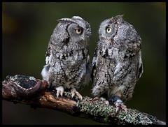 Eastern Screech Owls 6 (Jen St. Louis) Tags: ontario canada birds branch getty mountsberg captive owls gettyimages perching screechowls nikkor300mmf4 nikond90 jenstlouis jenstlouisphotography wwwjenstlouisphotographycom jenstlouisphotographycom