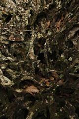 Comino Crespo Raiz milenaria (Reserva Natural nirvana - Valle del Cauca). (juan franco 5) Tags: roots raiz milenaria comino crespo