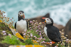 Puffin talk DSC_9286 (wwwYnand!) Tags: explore puffin birds bird ireland island puffins wwwynand wynand wvanpoortvlietnl wvanpoortvliet wynandvanpoortvlietnl wynandvanpoortvliet nikon d500