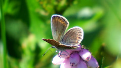 Silver-studded Blue Plebejus argus (davidcawthraw) Tags: silverstuddedblue plebejusargus boveyheathfield devon