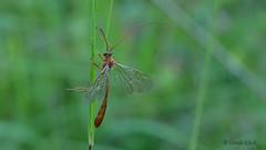 Schlupfwespe (Ichneumonidae) an einem Halm hängend (Oerliuschi) Tags: insekten zweiflügler natur makro kaiserstuhl schlupfwespe ichneumonidae