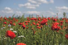 (CarolienCadoni..) Tags: sonyslta99 poppies poppy field landscape groningen netherlands sal2470z