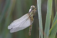 Dragonfly in the morning dew. Vierfleck Libelle im Morgentau. (Xtraphoto) Tags: nature natur makro macro flügel insekt tautropfen tau morgentau morgen morning libelle vierfleck