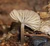 Champagne velvet gill mushroom Hygrocybe sp Hygrophoraceae Airlie Beach rainforest P1030825 (Steve & Alison1) Tags: champagne velvet gill mushroom hygrocybe sp hygrophoraceae airlie beach rainforest hygrocybesp arfp qrfp tropicalarf arffungi brownarffungi