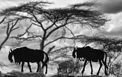 In My Dreams ... (AnyMotion) Tags: wildebeest gnu metal metall figurine wall mauer trees bäume acacias akazien 2015 anymotion seronera serengetinationalpark tanzania tansania africa afrika travel reisen nature natur wildlife 7d2 canoneos7dmarkii bw blackandwhite sw